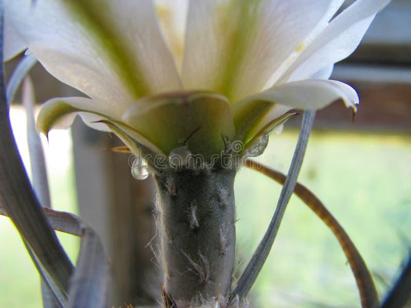 Drogas de azúcar en el tallo de la planta Tephrocactus articulatus var papyracanthus, macro tiro fotos de archivo libres de regalías
