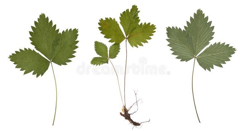 Droge aardbeitak met de geïsoleerde wortel Gedrukte aardbeibladeren royalty-vrije stock fotografie