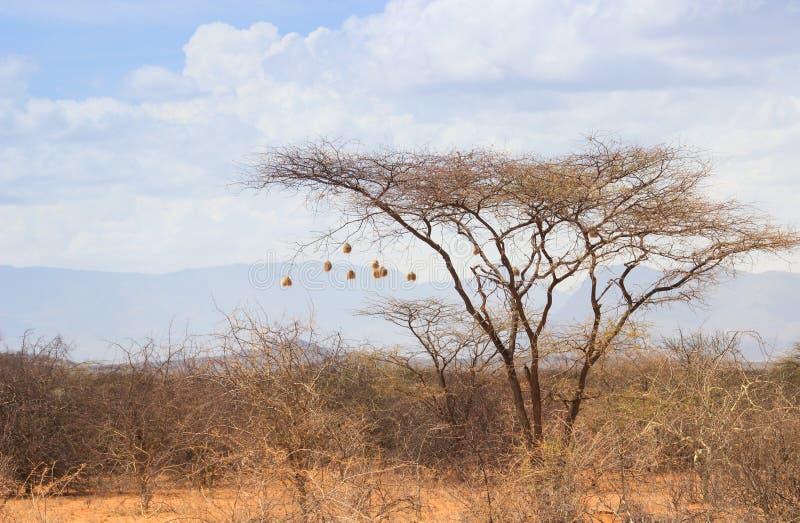 Droge acaciaboom in de Afrikaanse savanne met vele kleine vogelnesten stock foto