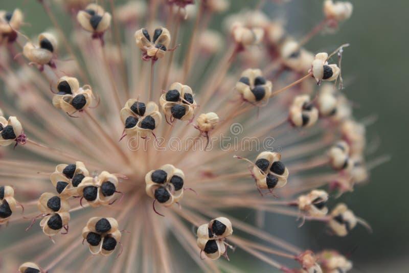 Droge Alliumzaden stock afbeeldingen