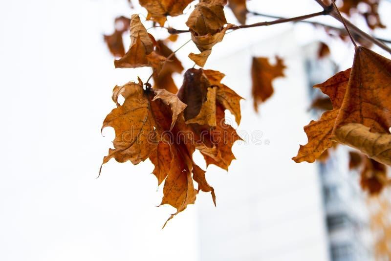 Droge bladeren op een boom in de winter royalty-vrije stock afbeelding