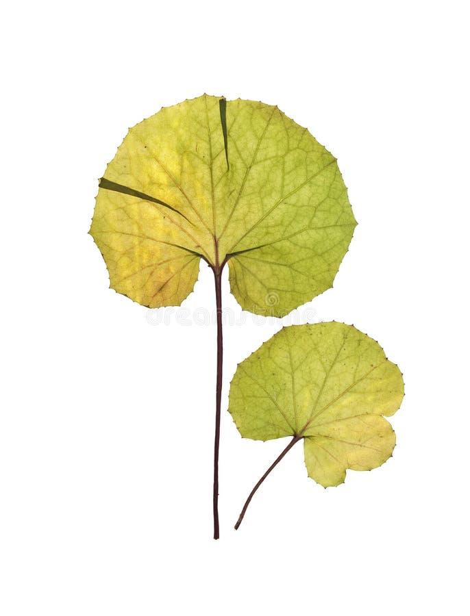 Droge bladeren van coltsfoot, foalfoot voor herbarium stock fotografie