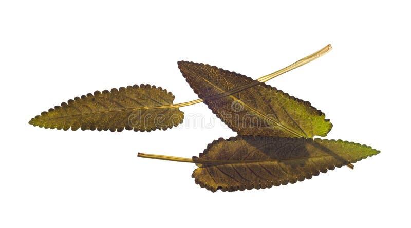 Droge bladeren van weidesalie, saffraan voor herbarium stock fotografie