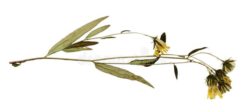 Droge bloem op een witte achtergrond. royalty-vrije stock fotografie