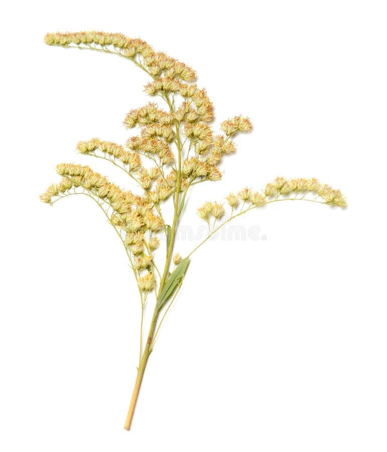 Droge bloem op wit geïsoleerde achtergrond Close-up stock foto's