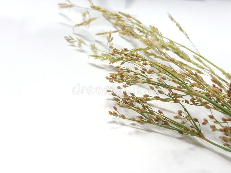 Droge bloem op witte achtergrond stock afbeelding