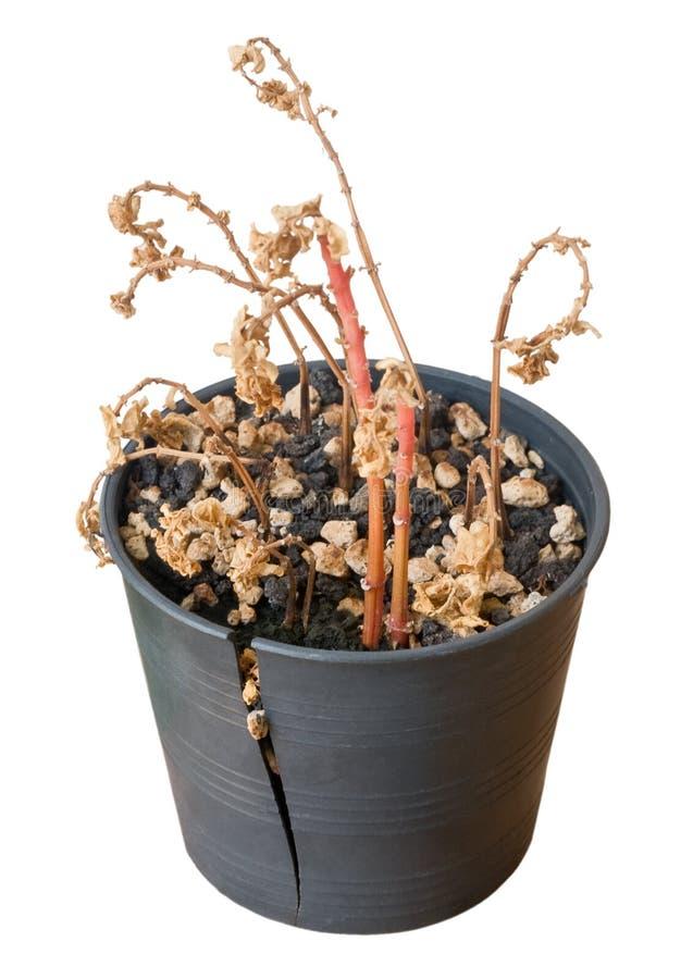 Droge Bonsaiboom in Gebroken Pot op Witte Achtergrond stock afbeelding