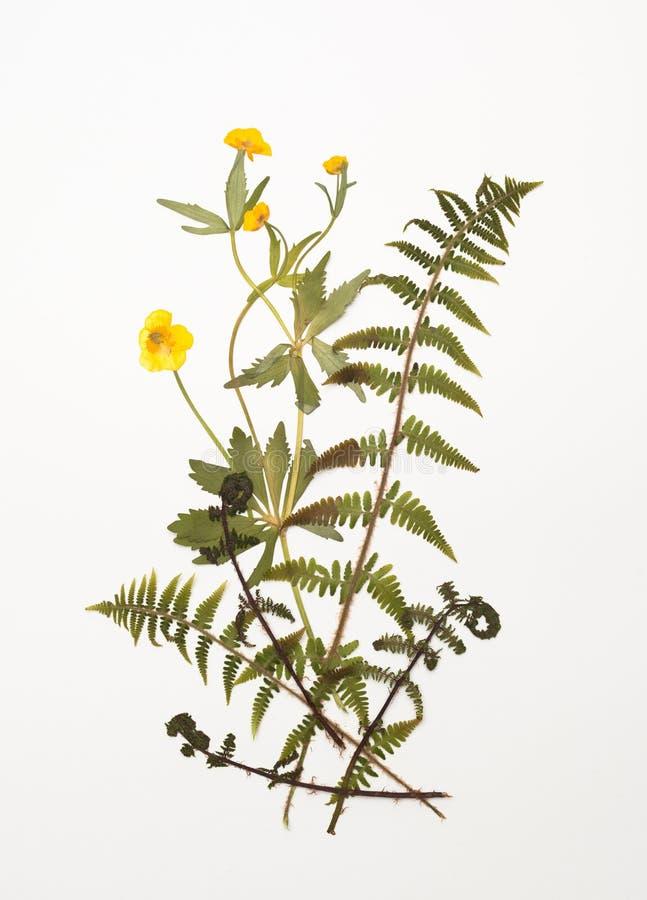Droge boterbloem, ranunculus bloemen en varenbladeren stock fotografie