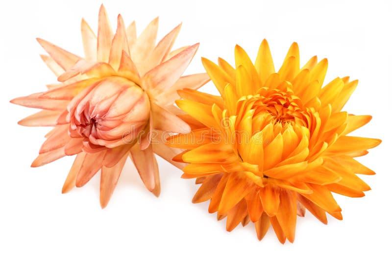 Droge die Bloemen Straw Flowers of Eeuwig op wit wordt geïsoleerd royalty-vrije stock foto's