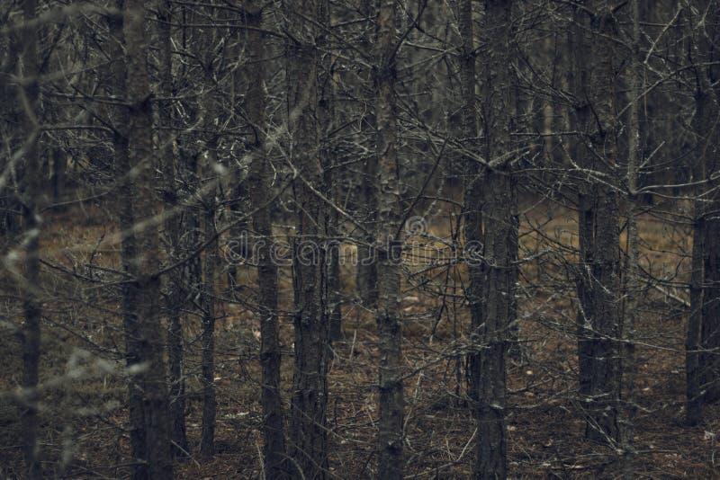 Droge die bomen met grijs mos en korstmos in het donkere onheilspellende bosfee grijze bos worden behandeld met droge takken en g stock fotografie