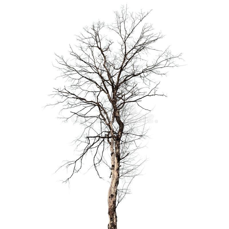 Droge dode die boom op wit wordt geïsoleerd stock foto's