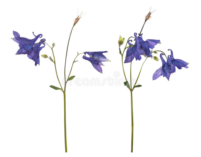 Droge en gedrukte bloemen van een blauw die klokje op een witte achtergrond wordt geïsoleerd royalty-vrije stock afbeeldingen