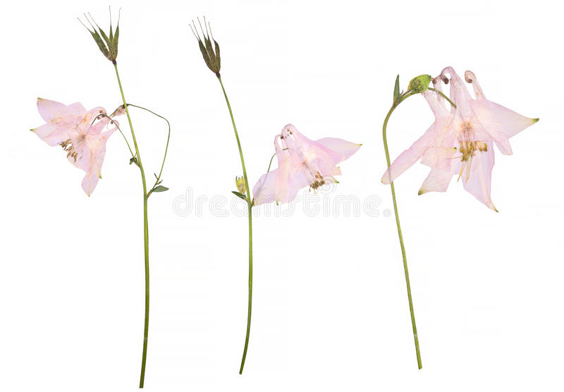Droge en gedrukte bloemen van een roze die vulgaris bloem van Aquilegia op een witte achtergrond wordt geïsoleerd royalty-vrije stock fotografie