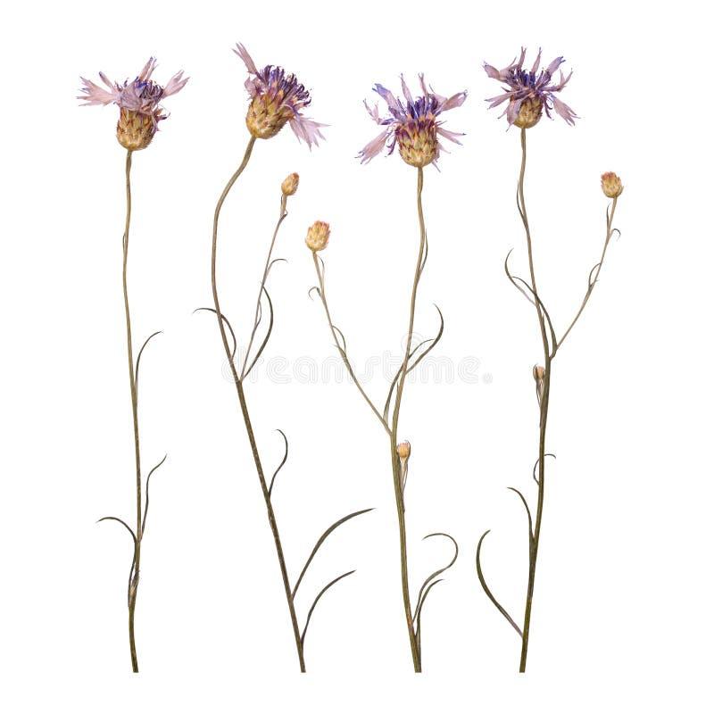 Droge en gedrukte bloemen van korenbloemen die op witte achtergrond worden geïsoleerd Herbarium van blauwe bloemen stock fotografie