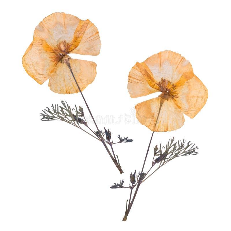 Droge en gedrukte die bloemen op witte achtergrond worden geïsoleerd Herbarium van bloemen stock afbeeldingen