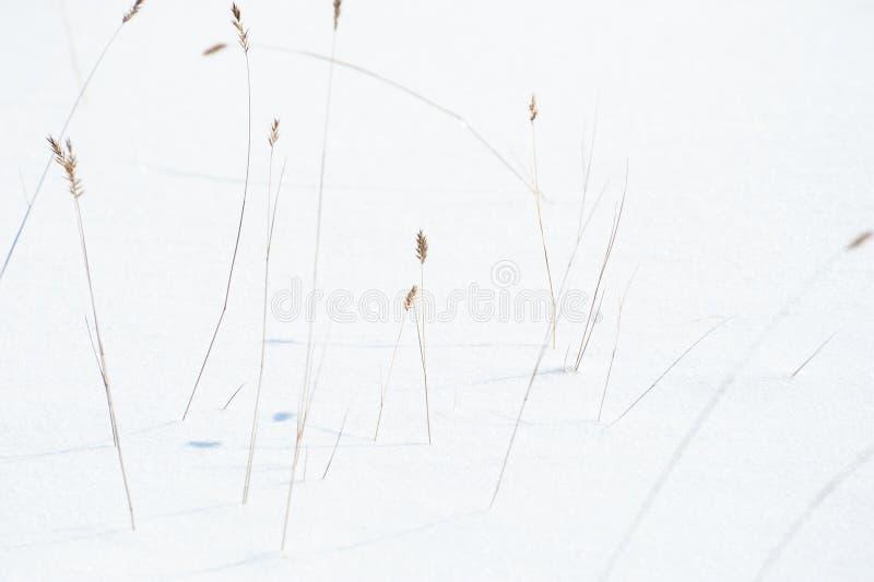Droge grassen in de sneeuw in de winterbos royalty-vrije stock foto's