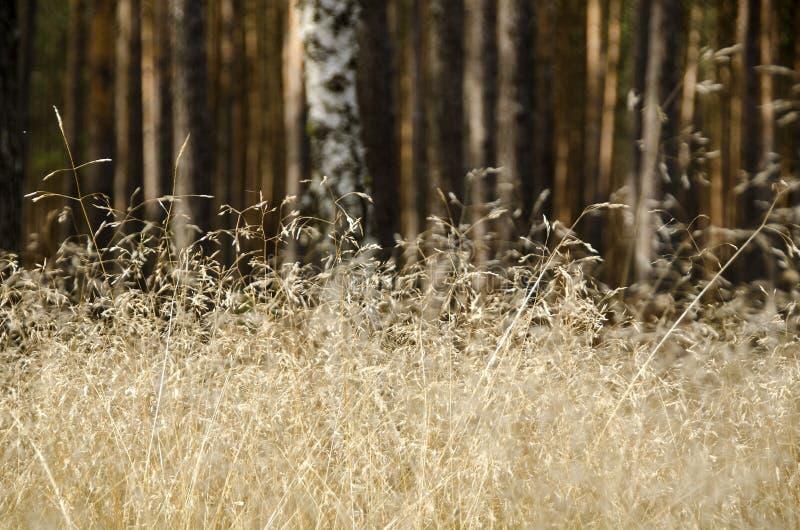 Droge grassen op gebied stock afbeelding