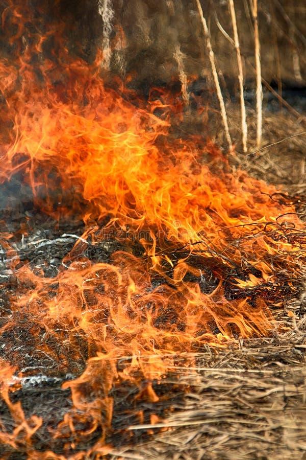 Droge grasuitbarstingen onder struiken, brand op struikengebied royalty-vrije stock foto's