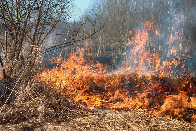Droge grasuitbarstingen onder struiken, brand op struikengebied stock foto's
