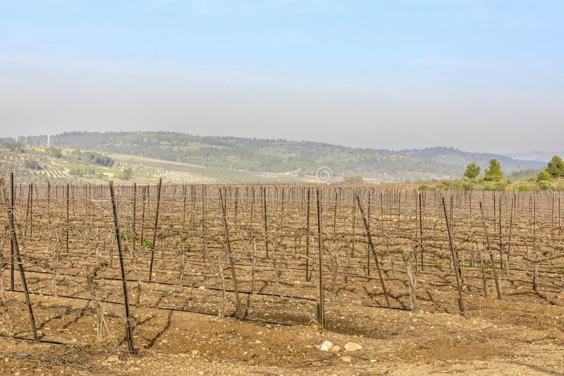 Droge houten wijngaard bij de winter met naakte grond stock foto