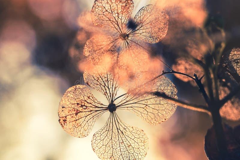 Droge hydrangea hortensiabloem met aardachtergrond stock foto's