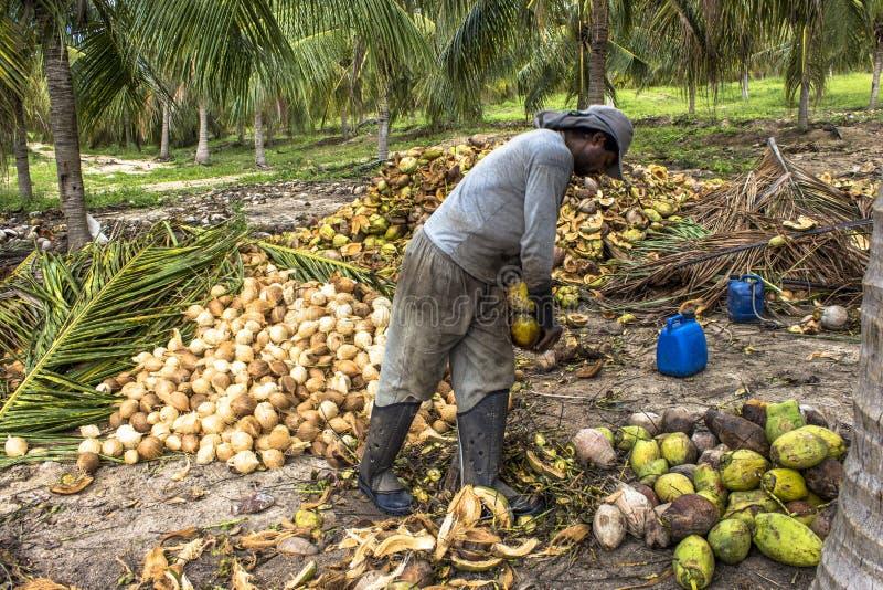 Droge kokosnoten royalty-vrije stock afbeelding
