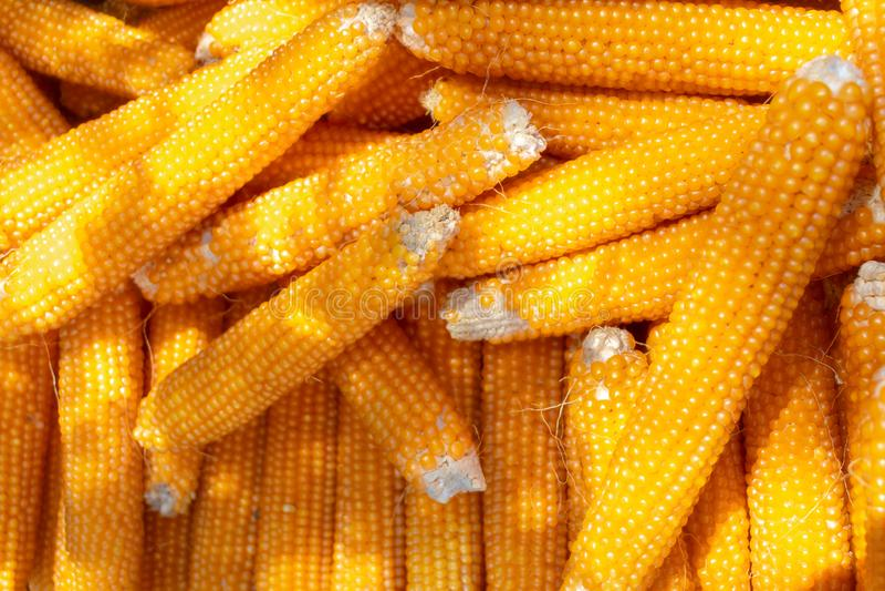 Droge Maïskolven in een Stapel stock fotografie