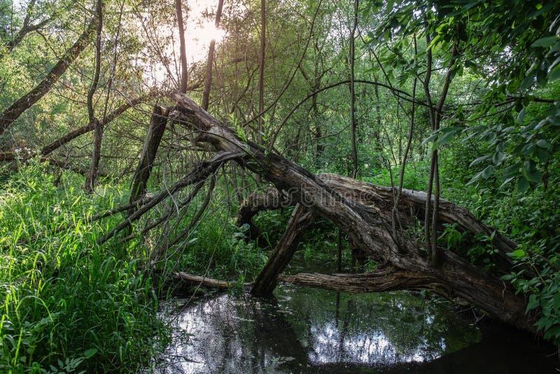 Droge oude boom in bos dichtbij vijver stock afbeelding
