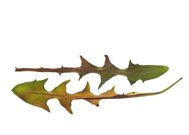 Droge paardebloembladeren voor een herbarium royalty-vrije stock foto