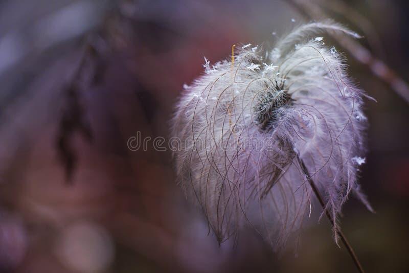 Droge pluizige bloem met sneeuwvlokken stock foto's