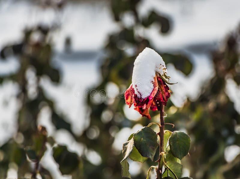Droge rood nam bloem met witte sneeuw toe en de groene bladeren is in een tuin stock afbeelding