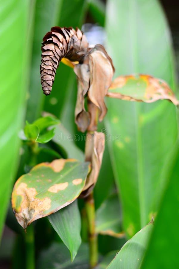Droge Spiraalvormige gingersbloem van Costus Woodsonii met vage achtergrond royalty-vrije stock foto's