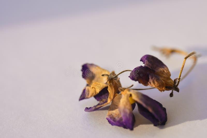 Droge violette bloemen op witte achtergrond, close-up stock fotografie