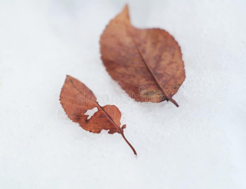 Droge zure kersenbladeren royalty-vrije stock foto