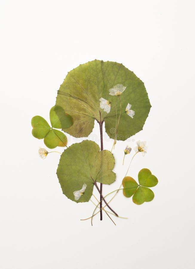 Droge zuring met bloemen, bladeren van coltsfoot stock foto's
