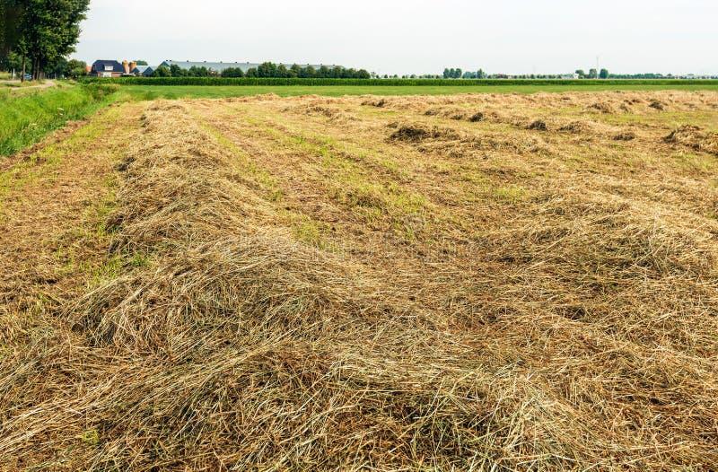 Drogend gras in rijen voor het oogsten van hooi royalty-vrije stock afbeelding