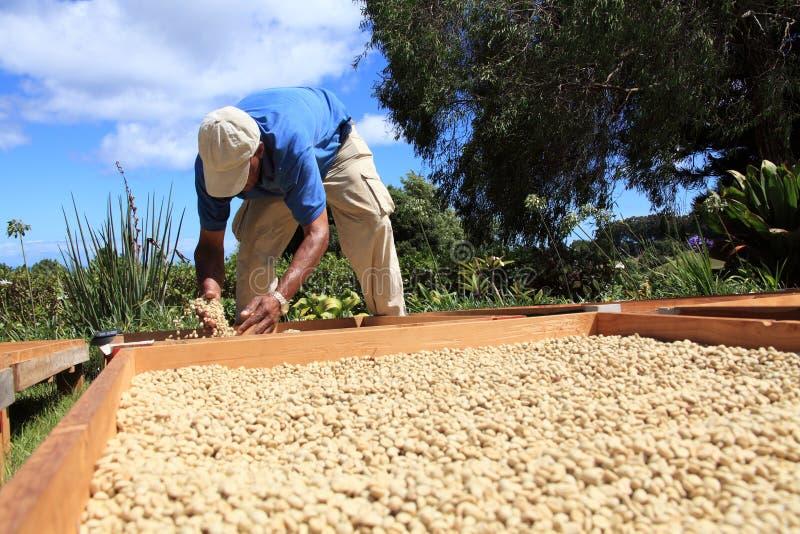Drogende de koffiebonen van de landbouwer in de zon royalty-vrije stock fotografie