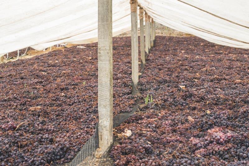 Drogende druiven voor rozijnen royalty-vrije stock afbeelding
