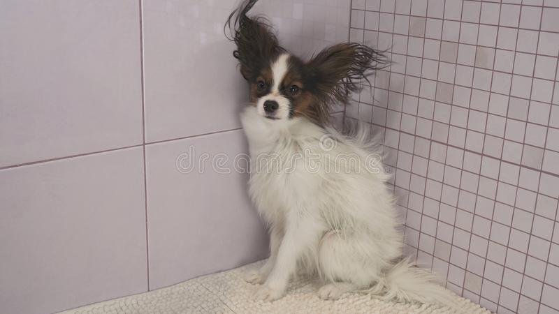 Drogende hond na badend Continentaal Toy Spaniel Papillon royalty-vrije stock afbeeldingen