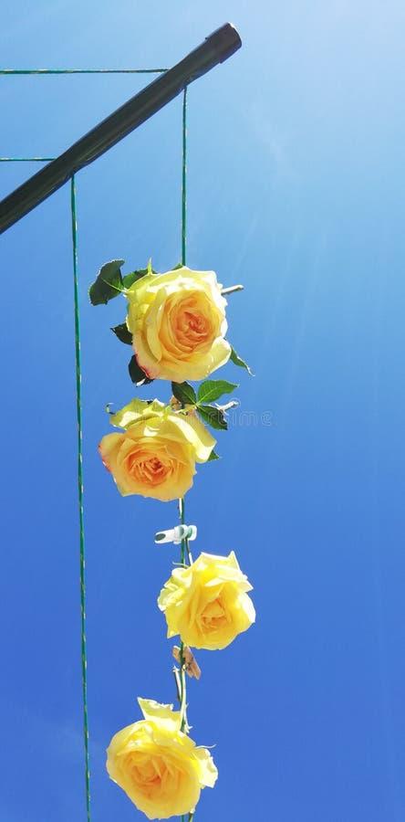 Drogende rozen royalty-vrije stock fotografie