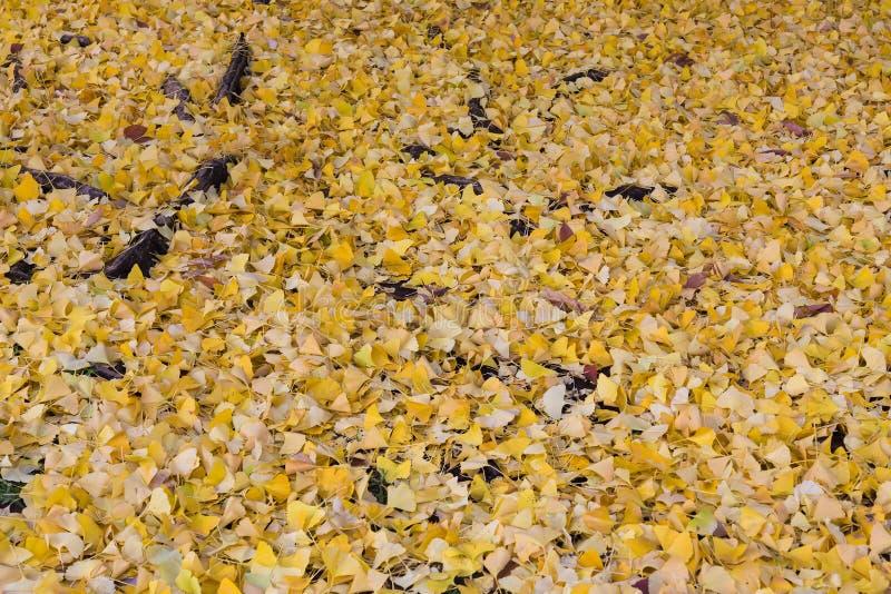 Drogi przemian ziemia zakrywająca z żółtym ginko opuszcza w jesieni obrazy stock