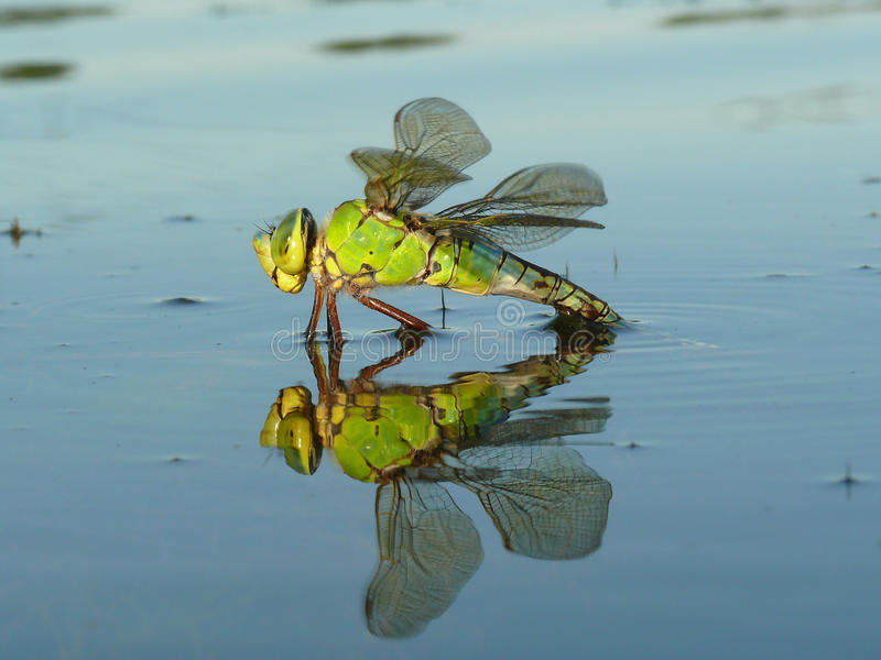 Download Drogonfly reflection stock image. Image of detail, makro - 21916055