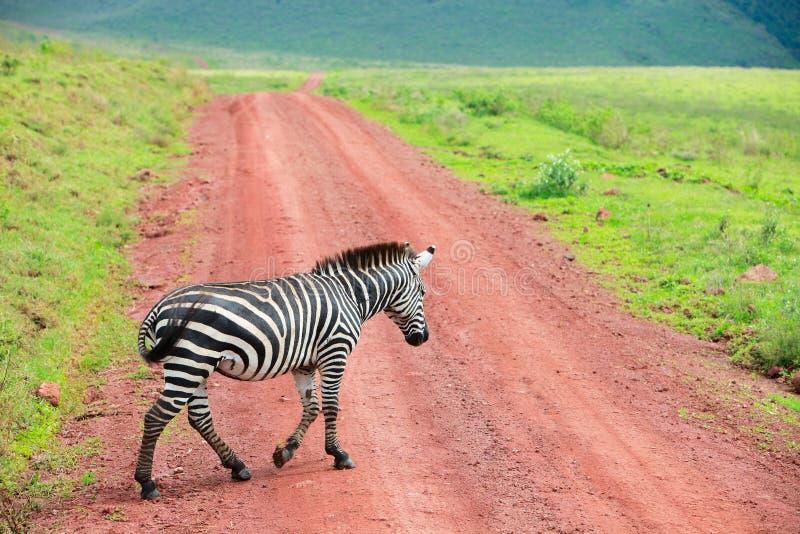 drogowa chodząca zebra zdjęcie stock