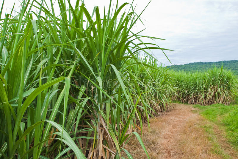 drogowa rośliny trzcina cukrowa zdjęcia royalty free