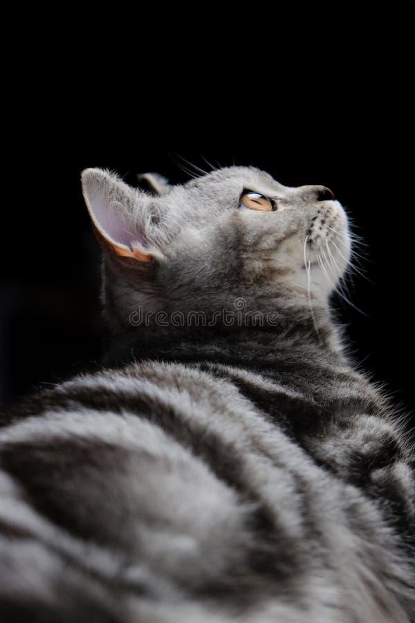 Droit écossais, chat dans la lumière photo stock