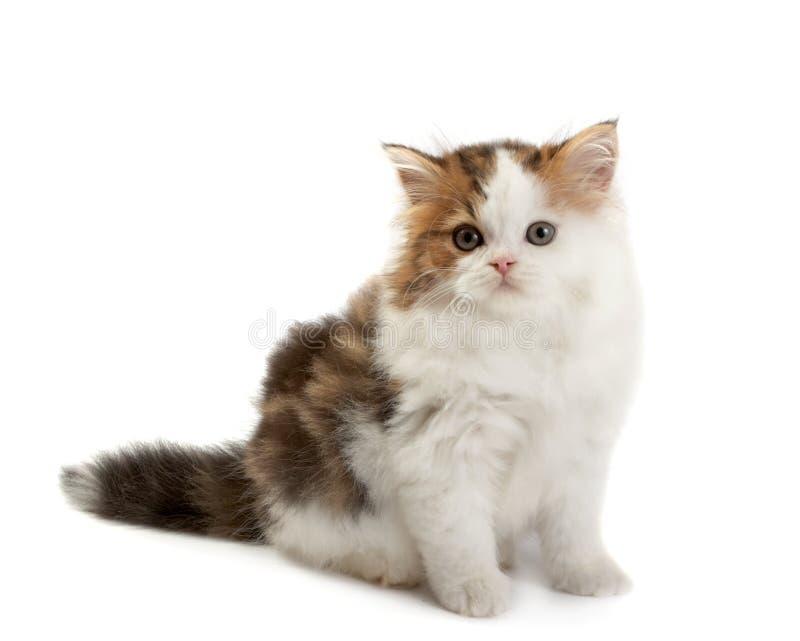 droit écossais de chaton images stock