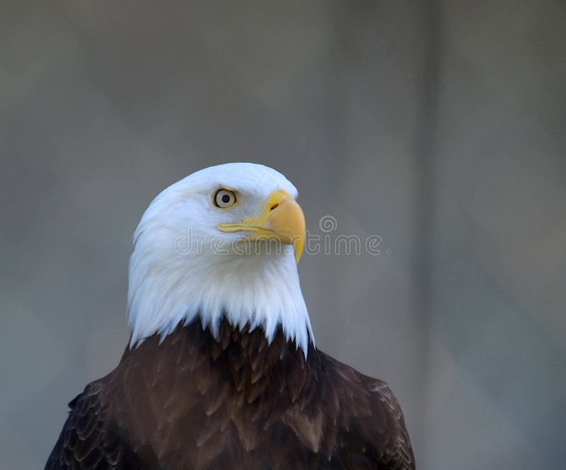 Droite d'aigle images libres de droits