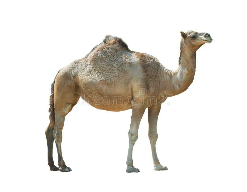 Dromadaire d'isolement de chameau au-dessus d'un blanc photo stock