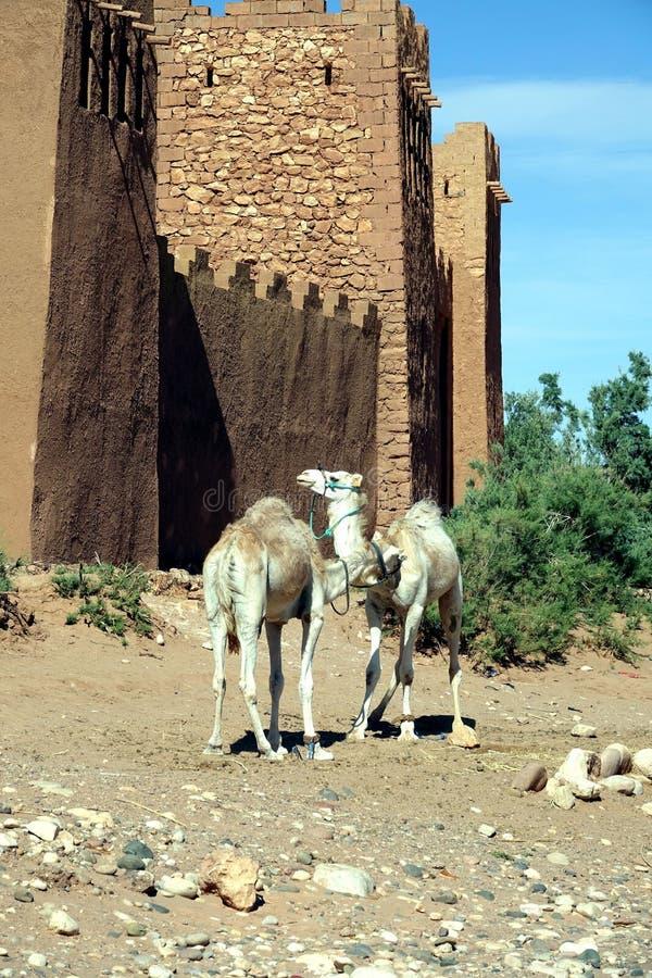 Dromadaires dans l'amour au Maroc, Afrique photos stock