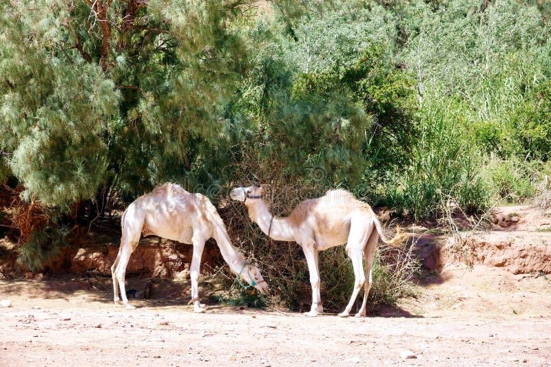 Dromadaires dans l'ombre au Maroc, Afrique photographie stock libre de droits